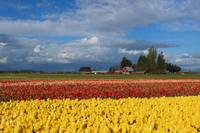 Red Barn Tulip Farm