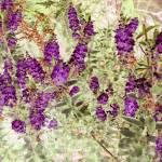 """""""hebe lavender"""" by mindgoop"""
