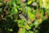 Orb Weaver Spider in a Web