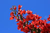 Red Blossoms on a Tree