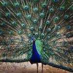 """""""Peacock background"""" by easyfigure"""