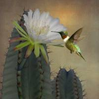 Hummingbird and Blooming Apple Cactus by I.M. Spadecaller