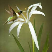 Hummingbird and Wild Swamp Lily Art Prints & Posters by I.M. Spadecaller