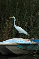 Great White Heron on a Skiff