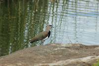 Southern Lapwing on a Lake Shore