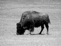 Lonely Buffalo