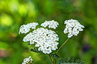Yarrow Wildflower - Achillea millefolium - White