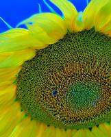 soncnica-helianthus-annuus_z (1)