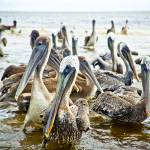 """Pelican Buffet"" by JPMcCool"