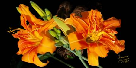 Daylillies in the AM