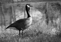 Canada Goose Black and White