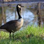 """Canada Goose"" by KsWorldArt"