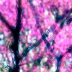 """Spring Redbuds Abstract"" by KsWorldArt"