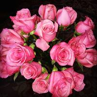 Dramatic Pink Roses