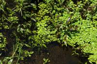 Aquatic Plants in a Stream