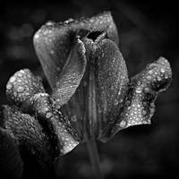 Drenched Tulip