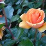 """ROSE FANTASY in pastels"" by norska43"