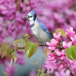 """Blue Jay in Spring"" by Ninas4otos"