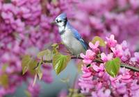 Blue Jay in Spring