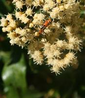 Orange and Black Insect on a Flower