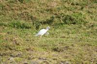 Cattle Egret walking