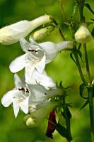 Foxglove Beardtongue Wildflowers