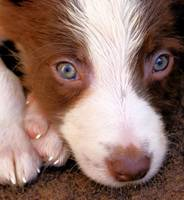 Border Collie Tan and White pup