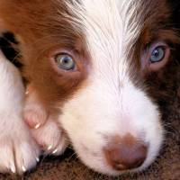 Border Collie Tan and White pup Art Prints & Posters by brian raggatt