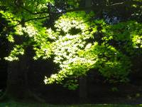 Maple-filtered Sunlight