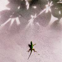 Lizard Confronts Shadows