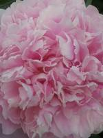 Pink Velvety Peony in Full Bloom