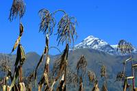 Corn Field With Mt Cotacachi