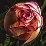 """Pink Memory"" by danlward"