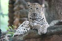 White and Black Tiger Laying on Tree Branch