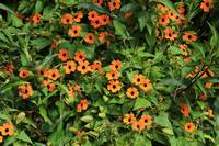 Orange and Black Flowers
