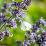 """Cabbage White"" by WildAboutNaturePhotography"