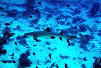 Whitetip Shark Roaming In The Blue