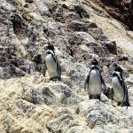 """""""And Now a Song From the Penguins"""" by PaulCoco"""