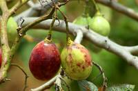 Tree Tomatoes in an Orchard