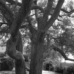 """Huge Old Oak  IMG_4663"" by rayjacque"