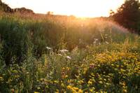 Wildflowers Near Sunset