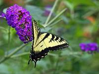 Tiger Swallowtail Butterfly - Papilio glaucus
