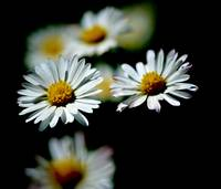 A Pair of Daisies