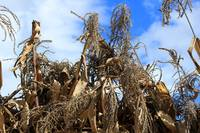 Corn Stalks Drying in the Sun