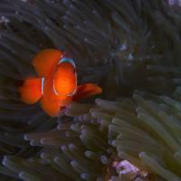 spine cheek anemone fish Art Prints & Posters by Jim