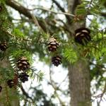 """Pine cones in forest tree"" by globetrotter1"
