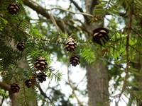 Pine cones in forest tree