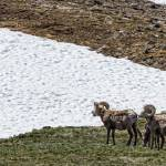 """Big Horn Sheep in The High Elevation"" by lightningman"