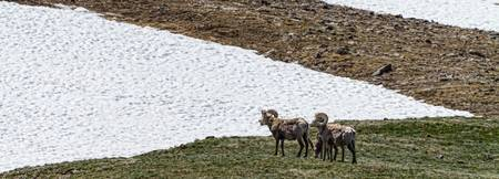 Big Horn Sheep in The High Elevation