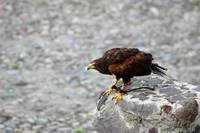Harris Hawk Waiting to Fly